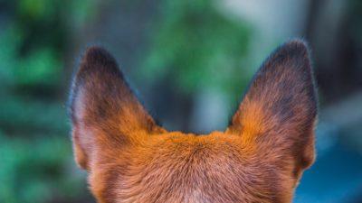 собака ушки