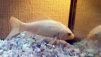 золотая рыбка Джордж