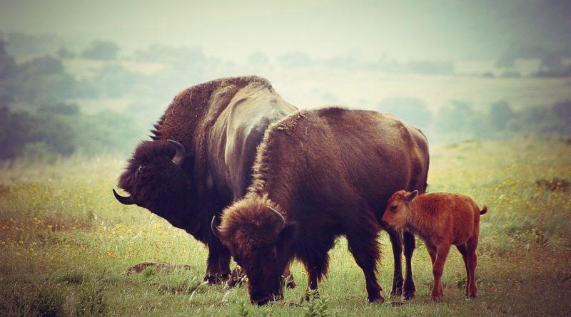 бизон