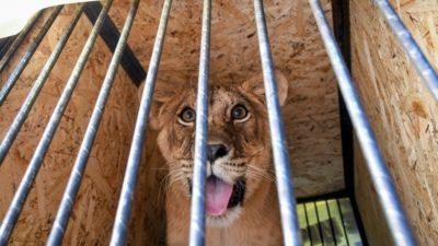левенята з Бердянського зоопарку