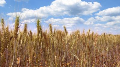 поле пшеница