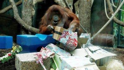 Найстаріша самка орангутанга відсвяткувала день народження (відео)