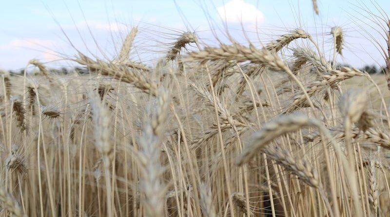 поле жнива