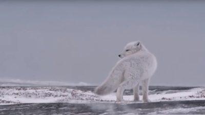 полярна лисиця