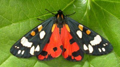 Ученые показали фото ядовитой мохнатой бабочки из Чернобыля