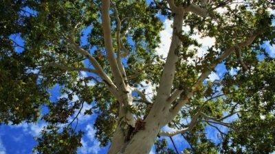 дерево тополь