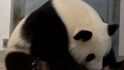 панда с детенышами