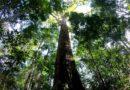 самое высокое дерево Амазонии