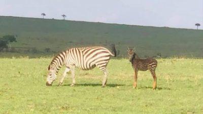 У заповіднику Кенії народилася зебра з незвичайним забарвленням