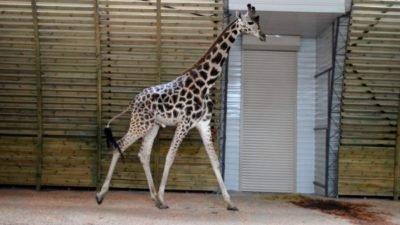 жираф_Миколаївський зоопарк