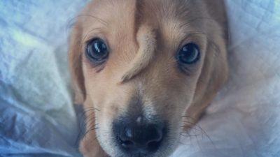 щенок с хвостом из США