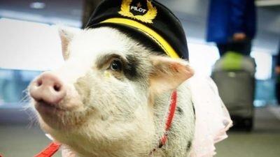 свинка-терапевт