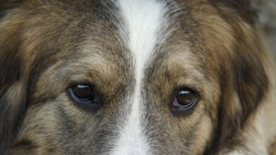 пес глаза pixabay