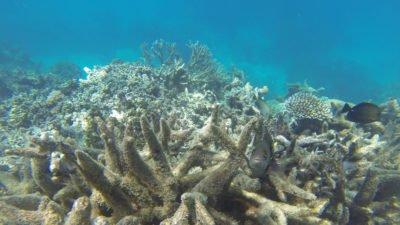 На Большом Барьерном рифе вновь обесцвечиваются кораллы