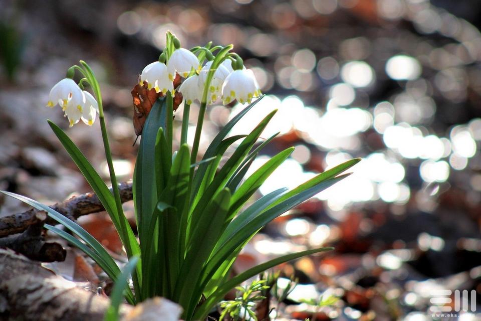 белоцветы