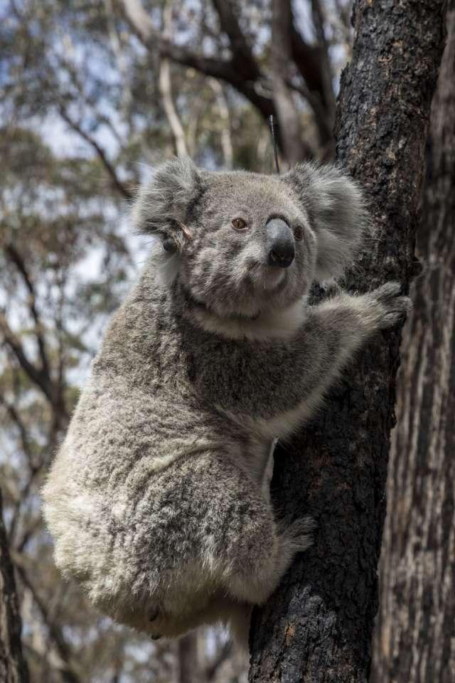 коали_Австралія