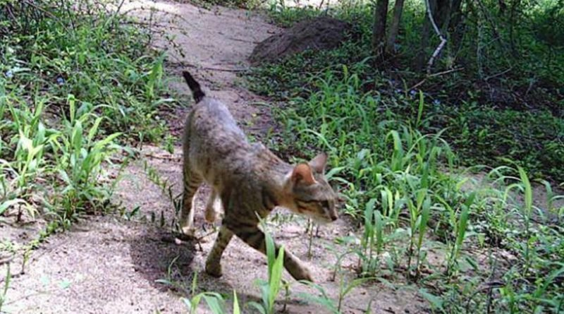 лесные кошки