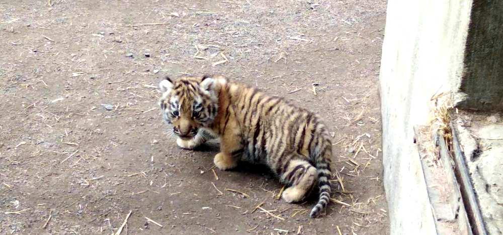 тигренок в одессском зоопарке