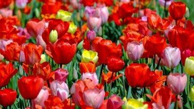 тюльпани pixabay
