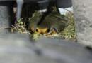 гнездо малиновки