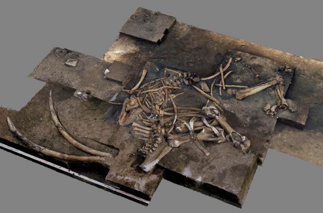скелет лесного слона