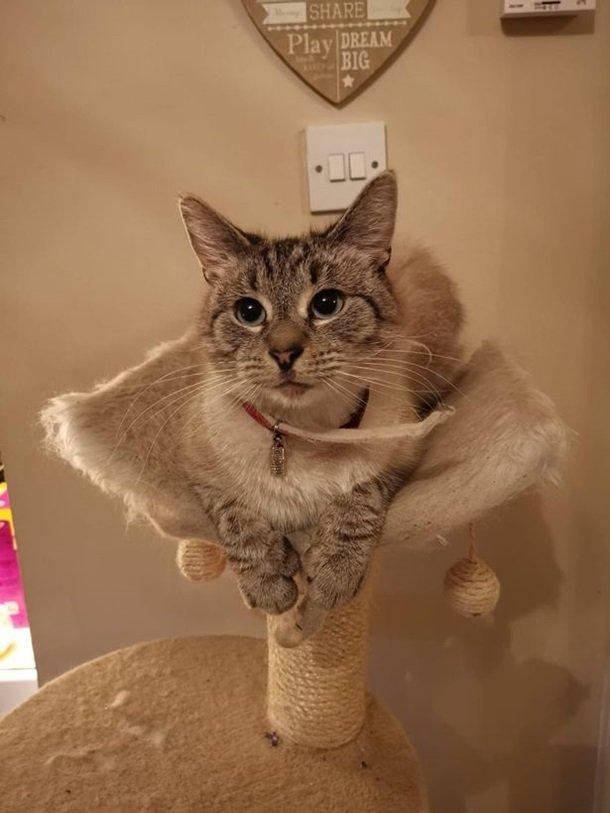 кот из Британии