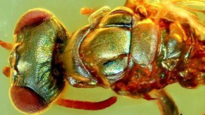 В янтаре нашли окаменелости насекомого, которые сохранили цвет