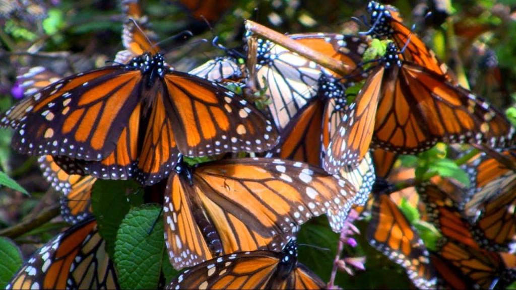 Метелики в Мексиці