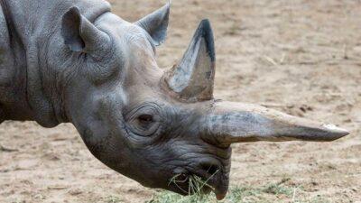 самка черного носорога