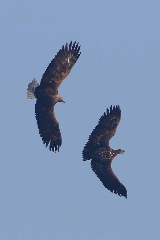 хижі птиці_орлани