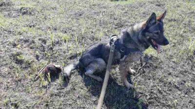 поліція_службова собака Альма