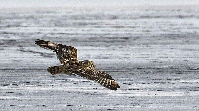 болотная сова_Днепропетровская область