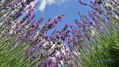 Самое большое в Украине лавандовое поле высадили на Буковине