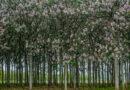 Дерево Павловния