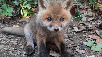 В Днепре спасают маленького лисёнка, которого сбила машина (фото)